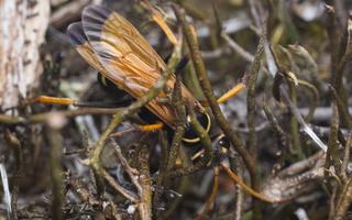 Batozonellus lacerticida · voravapsvė