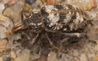 Bothynoderes affinis · skersadryžis runkelinis straubliukas