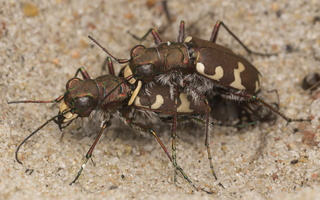 Cicindela hybrida mating · baltalūpis šoklys poruojasi