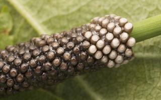 Malacosoma castrensis eggs · žolinis verpikas, kiaušinėliai 4973