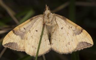 Eulithis populata · drebulinis juostasprindis
