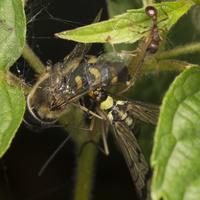 Panorpa communis · paprastoji skorpionmusė 4986