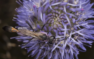 Ammophila sabulosa male · smėlinė amofila ♂ 4997