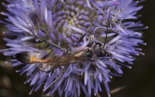 Ammophila sabulosa male · smėlinė amofila ♂ 4998