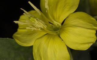 Oenothera biennis · dvimetė nakviša