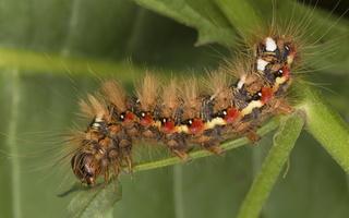 Acronicta rumicis caterpillar · rūgštyninis strėlinukas, vikšras