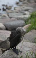 Phalacrocorax carbo juvenile · didysis kormoranas, jauniklis 5075