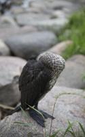 Phalacrocorax carbo juvenile · didysis kormoranas, jauniklis 5076