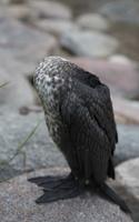 Phalacrocorax carbo sinensis, juvenile · didysis kormoranas