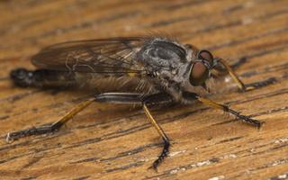 Asilidae · musė plėšrūnė