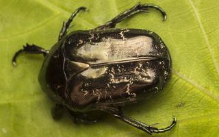 Protaetia lugubris · marmurinis auksavabalis