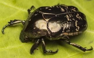 Cetoniidae · auksavabaliai