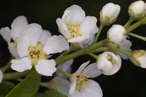 Prunus padus · paprastoji ieva