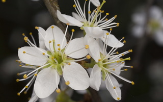 Prunus spinosa · dygioji slyva