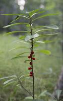 Daphne mezereum berries · paprastasis žalčialunkis, uogos