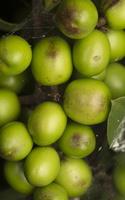 Ligustrum vulgare berries · paprastasis ligustras, neprinokusios uogos