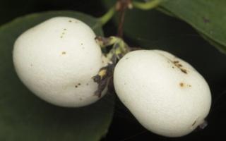 Symphoricarpos albus · baltauogė meškytė