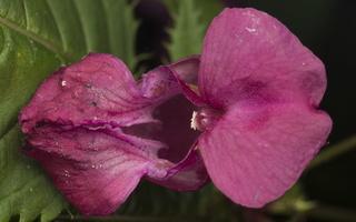 Impatiens glandulifera, flower · bitinė sprigė, žiedas