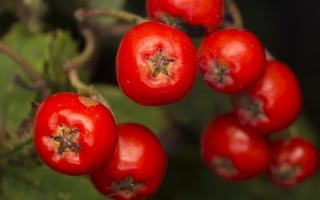 Sorbus aucuparia fruits · paprastasis šermukšnis, vaisiai