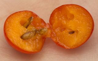 Sorbus aucuparia fruit · paprastasis šermukšnis, vaisius