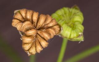 Alisma plantago-aquatica fruits · gyslotinis dumblialaiškis, vaisiai