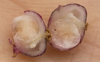 Maianthemum bifolium fruit · dvilapė medutė, vaisius
