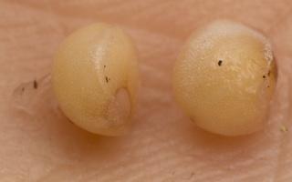 Maianthemum bifolium seeds · dvilapė medutė, sėklos