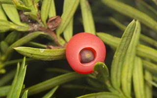 Taxus baccata · europinis kukmedis