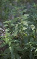 Lycopus europeaeus · paprastoji vilkakojė 5552