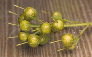 Lysimachia vulgaris fruits · paprastoji šilingė, vaisiai