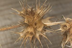 Galeopsis tetrahit · dirvinė aklė