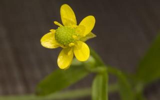 Ranunculus sceleratus · nuodingasis vėdrynas