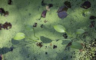 Alisma plantago-aquatica · gyslotinis dumblialaiškis