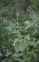 Galinsoga parviflora · smulkiažiedė galinsoga