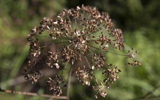 Apiaceae · salieriniai 5623