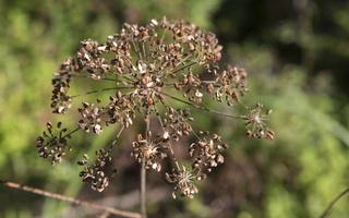 Apiaceae · salieriniai 5624