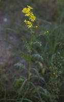 Senecio jacobaea · pievinė žilė
