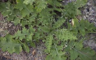 Carduus crispus · garbiniuotasis dagys