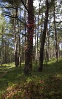Parthenocissus quinquefolia · penkialapis vynvytis