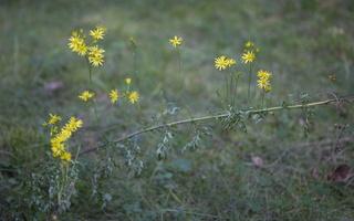 Jacobaea erucifolia · siauralapė žilė