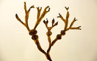 Fucaceae · guveininiai