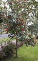 Sorbus × intermedia · švedinis šermukšnis