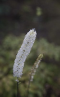 Actaea racemosa · kekinė blakėžudė