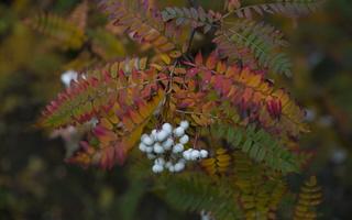 Sorbus fruticosa · krūminis šermukšnis