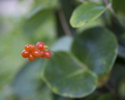 Lonicera sempervirens · visžalis sausmedis