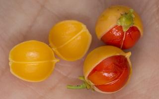 Celastrus orbiculatus fruits · apskritalapis smaugikas, vaisiai