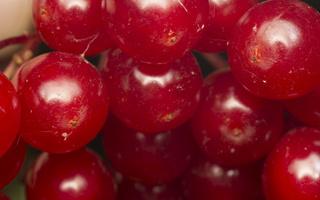 Viburnum opulus fruits · paprastasis putinas, uogos