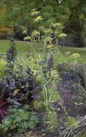 Foeniculum vulgare · paprastasis pankolis