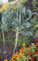 Brassica oleracea var. gemmifera · briuselio kopūstas