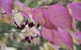 Euonymus macropterus · usūrinis ožekšnis